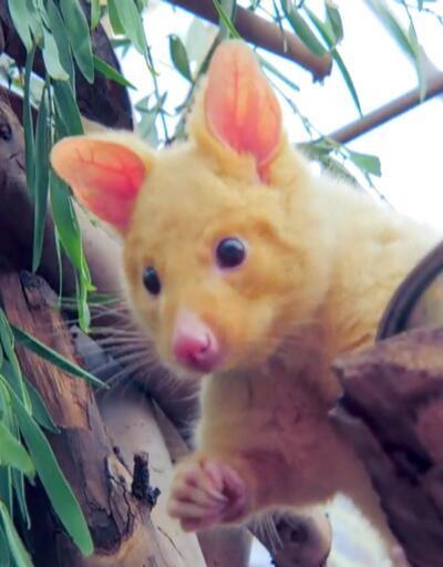 "Avustralya'da ""Pikachu"" keşfedildi!"