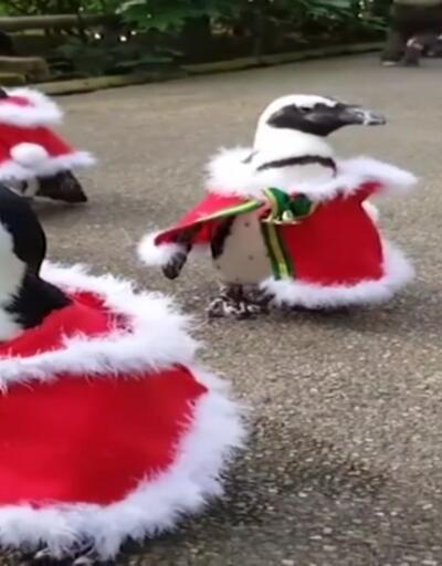 Penguenlere Noel Baba kostümü giydirdiler