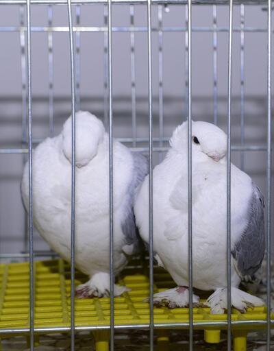 En güzel güvercin seçildi