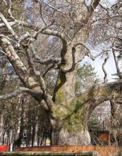419 yıllık anıt çınar ağacı, Develi'nin sembolü oldu
