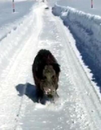 Minibüsün önüne çıkan yaban domuzları korkuttu