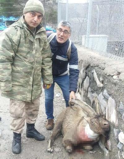 Tüfekle vurulan koruma altındaki keçi için seferber oldular