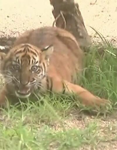 Yavru Sumatra kaplanlarına ilgi yoğun
