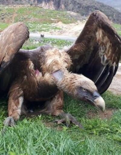 Çukurca'da yaralı halde bulunan kızıl akbaba tedaviye alındı