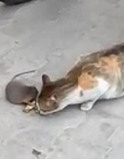 Fare, kedinin önündeki peyniri kaptı