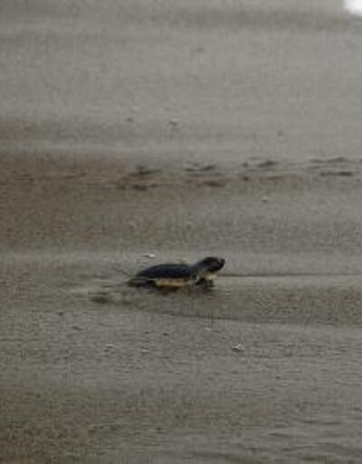 Akyatan kumsalı, yeşil deniz kaplumbağalarını ağırlayacak