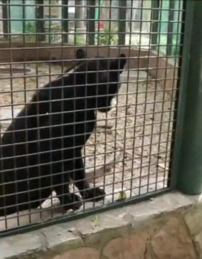 Bebek jaguar nesli tükenen türüne umut oldu