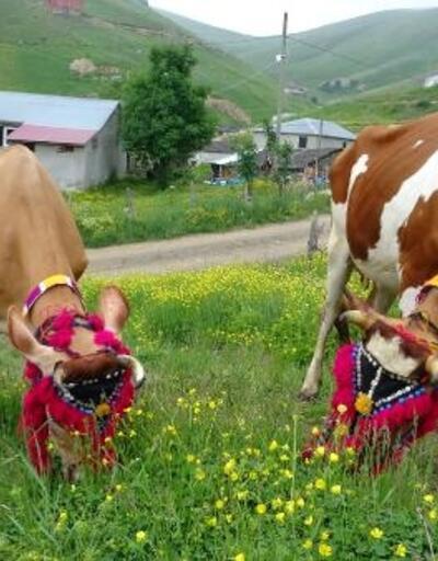 Karadeniz'de yayla göçü geleneği yaşatılıyor
