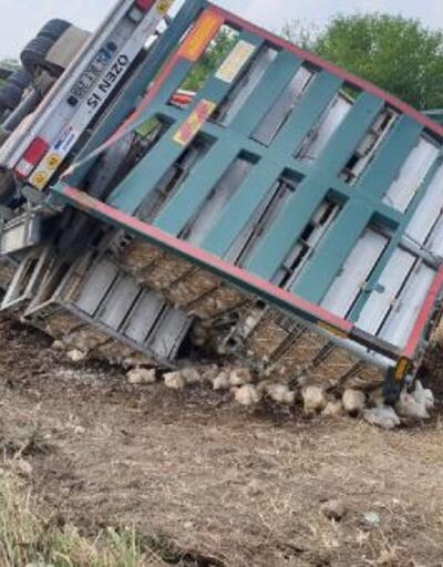 Kadirli'de TIR devrildi, 4 bin tavuk telef oldu