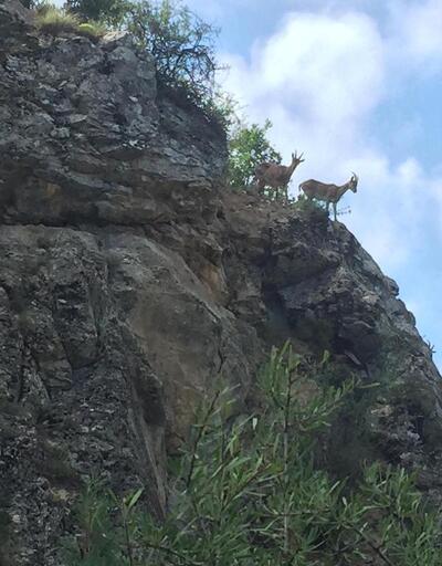 Şelale yolu ve kayalıklarda yaban keçleri görüntülendi
