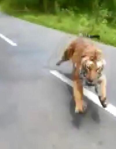 Otoyola çıkan kaplan, motosikletlileri kovaladı