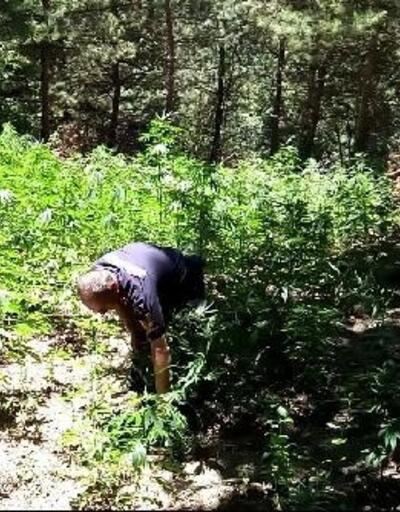 Ormandaki Hint keneviri tarlaları imha edildi