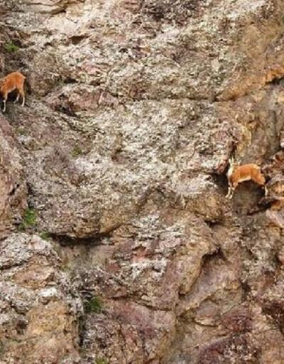 Yaban keçilerinin zorlu yolculuğu
