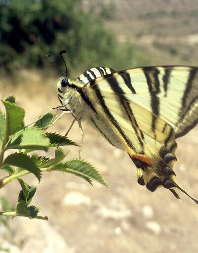 Sivas'ta 'Zebra çatal kuyruklu kelebek' görüldü
