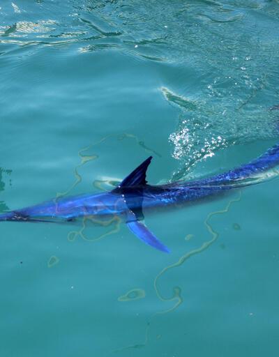 Dünyanın en hızlısı! Mavi yelken balığı Kemer'de görüntülendi