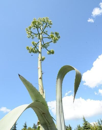 Yüzyıl bitkisi 21 yıl sonra Beylikdüzü'nde çiçek açtı