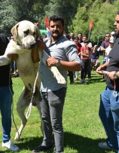 Köpekler, ırk standartları için yarıştı