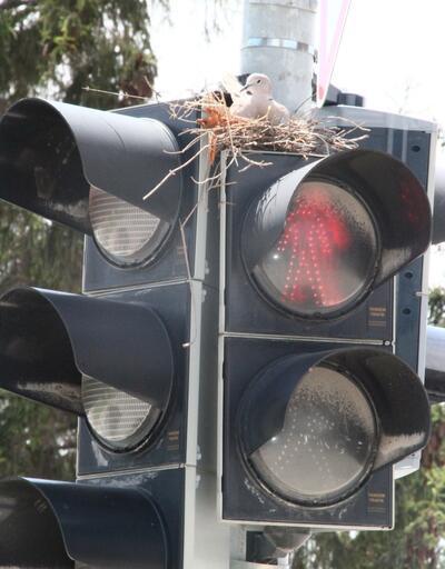 Trafik lambasında kumru yuvası