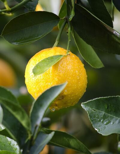 Limon kabuğu mucizesi! İyi gelmediği şey yok!