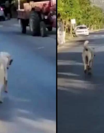 Köpeğin otomobile bağlanarak sürüklenmesi tepki çekti