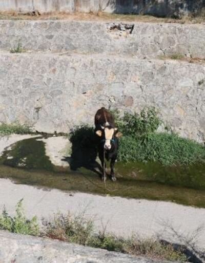 Ataşehir'de kamyonetten indirilirken kaçan dana zor anlar yaşattı