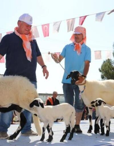 En iyi sakız koyunları yarıştı