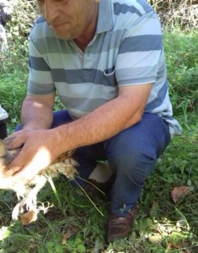Tarlada tellere dolanan peçeli baykuş kurtarıldı