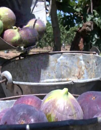 Bursa'da hasat zamanı