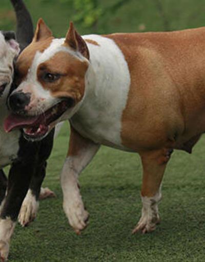 Sivas'ta 4 köpek ırkını beslemek yasaklandı