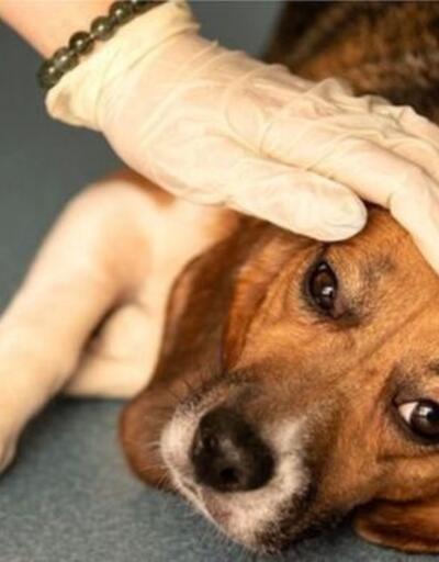 Avrupa'da gizemli hastalık! 25 köpek öldü!