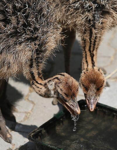 Yavru devekuşları ilgi odağı oldu