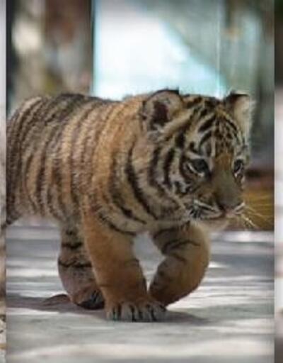 Türkiye büyük kedilerine isim verdi