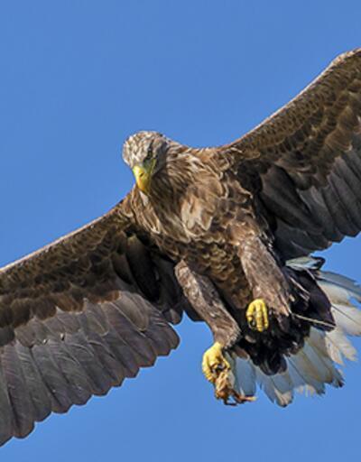 Yırtıcı kuşların sayısında çarpıcı düşüş