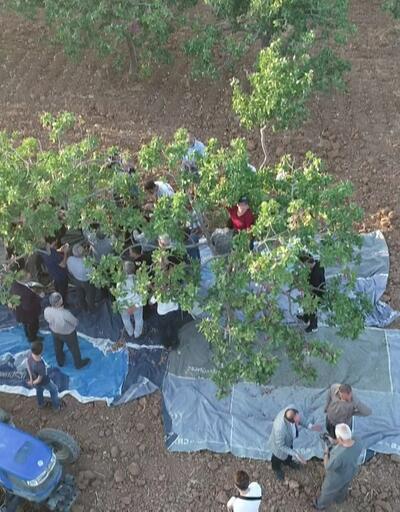 Şanlıurfa'da hasat zamanı