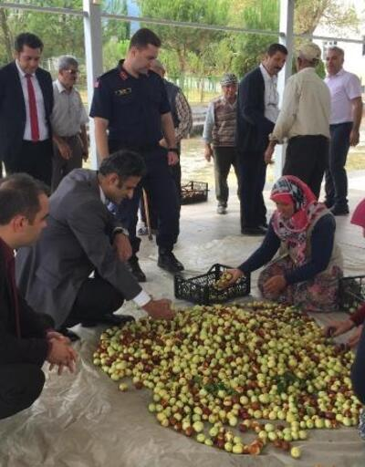Demirci'de 4 yıl önce dağıtılan hünnap fidanları meyve vermeye başladı
