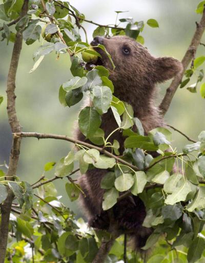 Çamlıhemşin'de ayılar sokaklarda geziyor