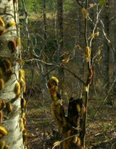 Orman yiyen tırtılla mücadele