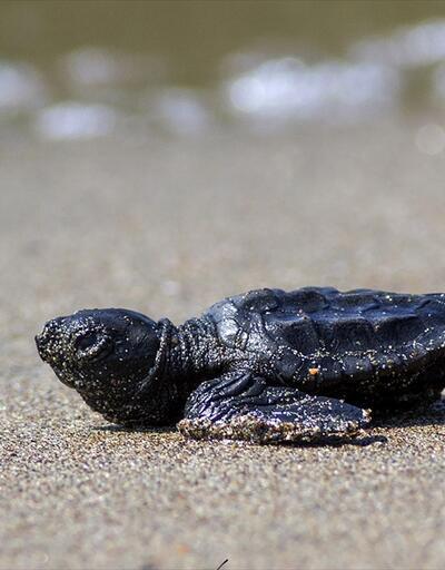 1235 kaplumbağa yavrusu denizle buluştu
