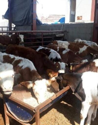 Çalınan 15 büyükbaş hayvan, sahibine teslim edildi