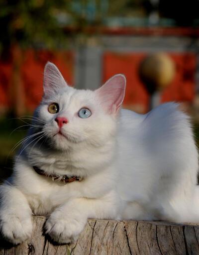 Van kedileri, uluslararası güzellik yarışmasına gidiyor