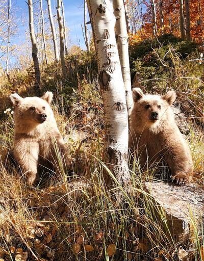 Nemrut'ta ziyaretçileri ayılar karşılıyor
