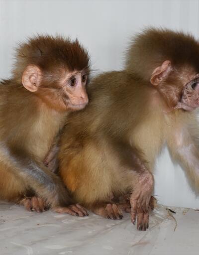 Maymunlar korumaya alındı