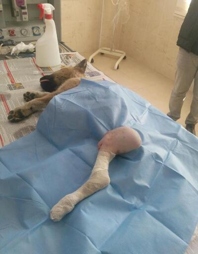 Aracın çarparak yaraladığı köpeğe platin takıldı