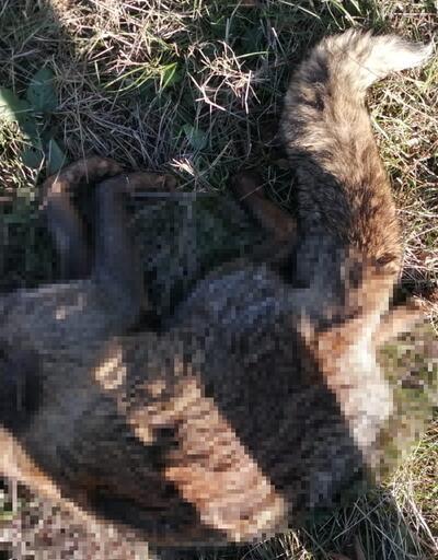 Yaban hayvanlarının zehirli et ile telef edildiği iddiası
