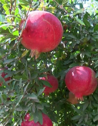 Antalya kırmızı nar üreticiyi memnun etti