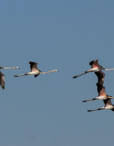 Büyükçekmece'de flamingo sürprizi