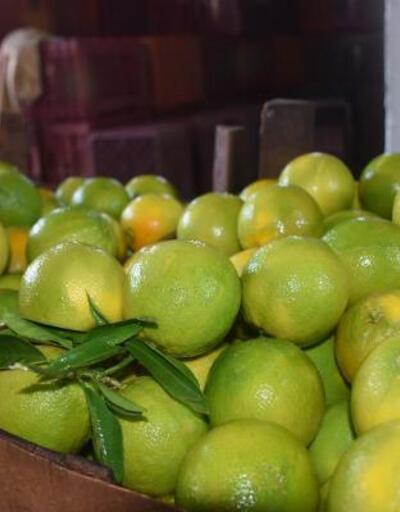 Aydın'da Washington cinsi portakalların hasadına başlandı