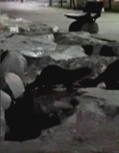 Yenikapı ve Zeytinburnu sahillerinde su samuru görüntülendi
