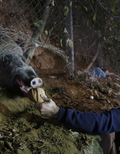 İstanbul'da şaşırtan görüntü... Vatandaşlardan domuzlara ekmek ve elma ikramı