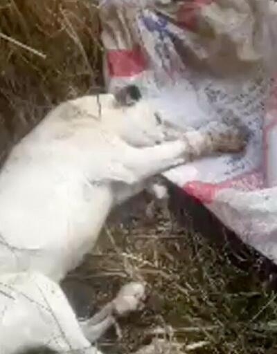 Avcılar ölüme terk edilen 3 köpeği kurtardı